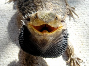 Bearded_Dragon_showing_beard
