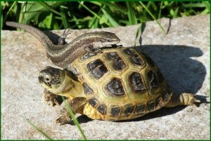 Tortoises are considered exotic pets